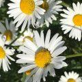 Composite flower Chiseldon