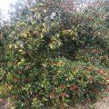 Holly Tree Chiseldon