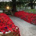 Poppies in graveyard