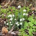 Chiseldon snowdrops