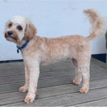 A dog after a hair cut