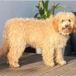 A dog before a hair cut